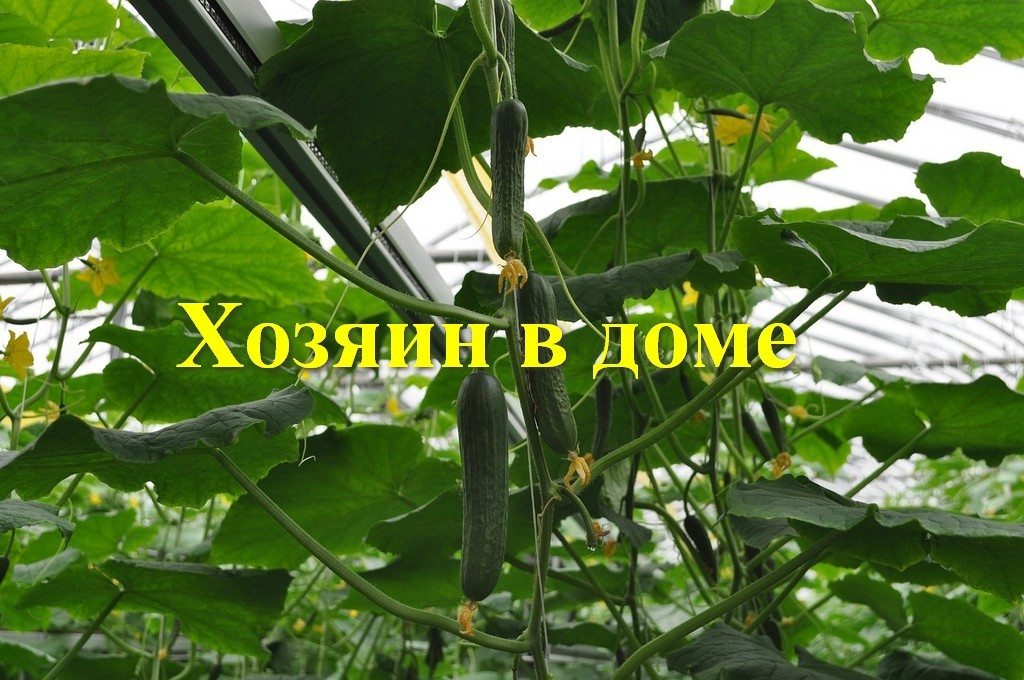 Урожай огурцов в теплице. Фундамент для теплицы