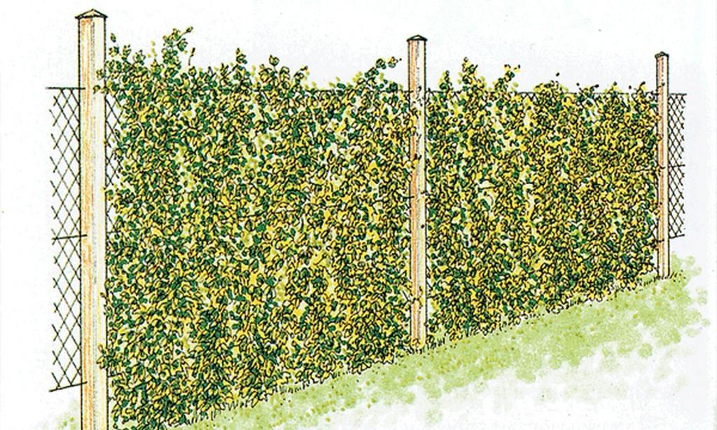 Эскиз забора из сетки-рабицы с вьющимися растениями